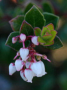 Bearberry manzanita